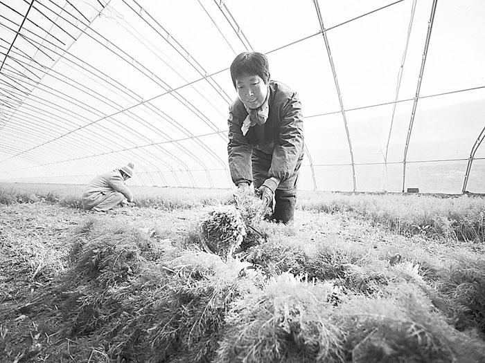 武邑县引导扶持农民种植绿色无公害蔬菜致富